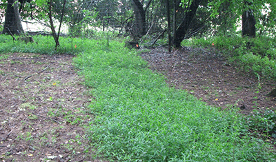 Figure 4. JAPANESE STILTGRASS CONTROL 127 DAYS AFTER APPLICATION WITH MILESTONE® AT 5 FL OZ/A (LEFT) COMPARED TO NON-TREATED (CENTER), AND MILESTONE® AT 7 FL OZ/A (RIGHT) ( TRAVIS ROGERS, DOW AGROSCIENCES ).