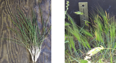 Figure 2 . THE BOOT GROWTH STAGE OF MEDUSAHEAD OCCURS JUST BEFORE SEEDHEAD EMERGENCE (LEFT). FAR LOWER SUCCESS IN MEDUSAHEAD SEED SUPPRESSION WITH MILESTONE® HERBICIDE OCCURS IF APPLICATION TIMING IS AT OR AFTER HEADING (RIGHT).  JOSH DAVY PHOTOS .