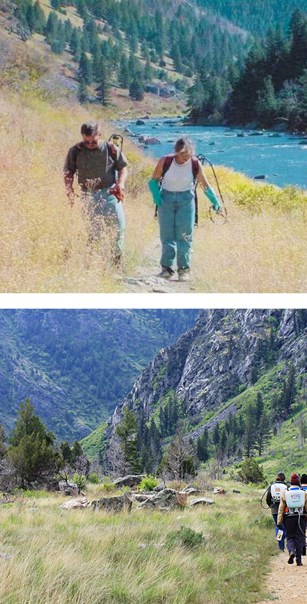 Figure 7.  Spotted knapweed flourished along the wilderness trail in 2001 (top) compared to the same trail today, showing native grass response following a reduction in spotted knapweed (bottom).