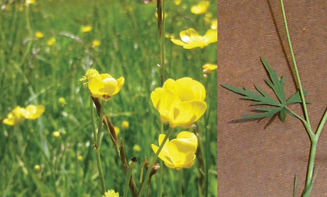 FIG. 2  Tall buttercup is about three feet tall with glossy yellow flowers and deeply lobed palmate leaves.  Flower photo by Jane Mangold, leaf photo by Dave Brink, Montana State Univ.