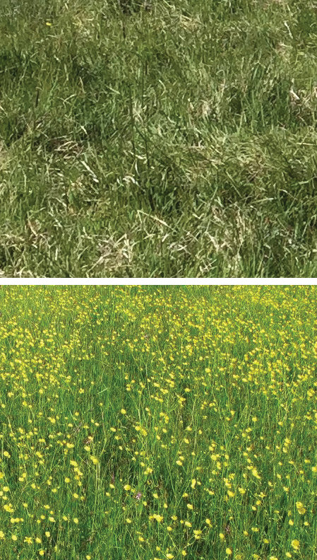 Fig. 4  Milestone® herbicide provided greater than 95 percent control of tall buttercup one year after treatment (top) when applied in either early summer or fall, compared to non-treated control (bottom).  photos by Celestine Duncan.