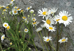 FIG. 2:  Scentless chamomile (left) has smaller flowers than oxeye daisy (right).  Photo by K. George Beck and James Sebastian, Colorado State University, Bugwood.org