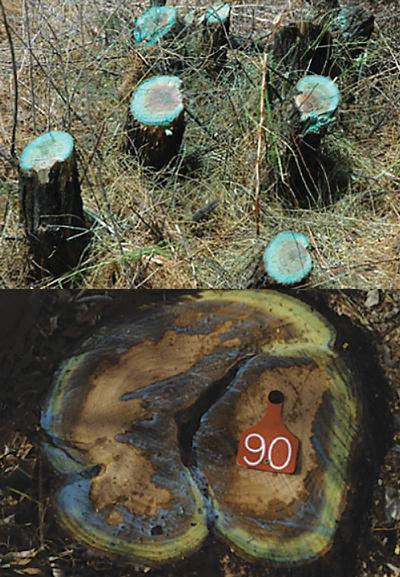 FIGURE 3   Comparison of basal cut-stump (top) and cut-stump (bottom) technique.  Top photo by Mary Halstvedt. Bottom photo by Scott Nissen .