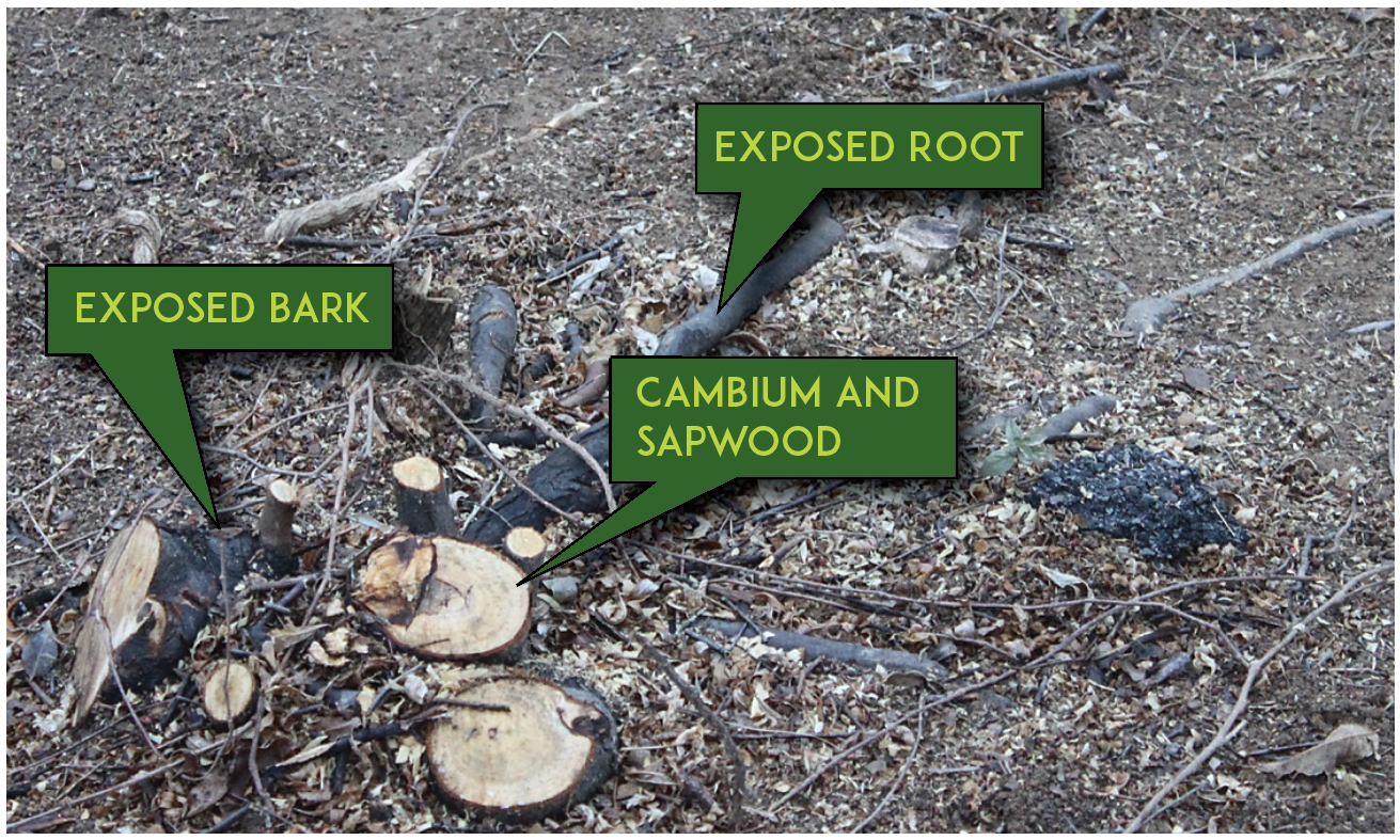 FIGURE 4.   Apply the herbicide solution to sides of the stump, including the root collar area, the outer portion of the cut surface (cambium), and any exposed root flares.  Photo by Pat Burch.