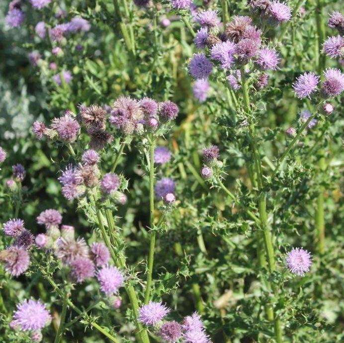 canada thistle flower.jpg