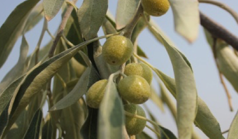 Russian-Olive-Fruit.jpg