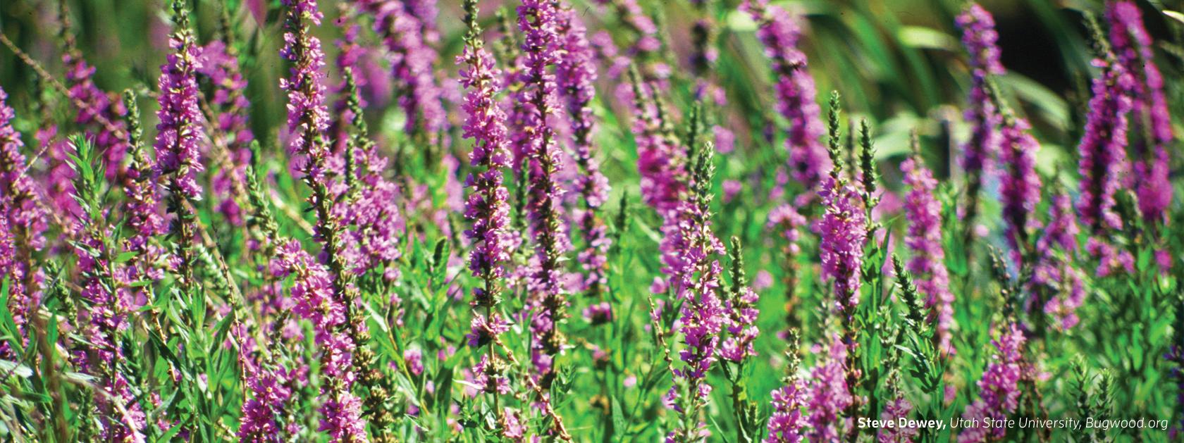PurpleLooseleaf-banner.jpg