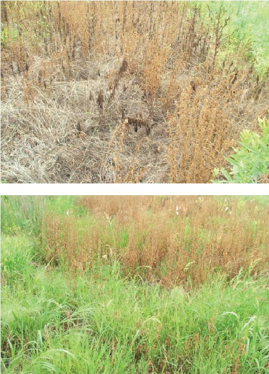 FIGURE 3:  Purple loosestrife control with Rodeo® at 6 quarts per acre (top) compared to Milestone® at 7 fluid ounces per acre (above). Both treatments provided good control of purple loosestrife, but Rodeo damaged desirable grasses.  Photos by Dow AgroSciences.