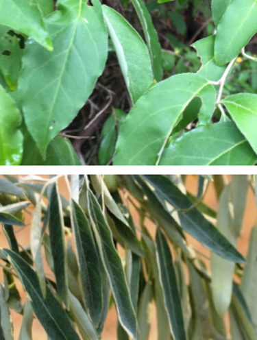 Autumn Olive And Russian Olive What S The Difference Techline Invasive Plant News