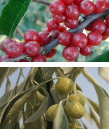 Autumn Olive And Russian Olive What S The Difference Techline