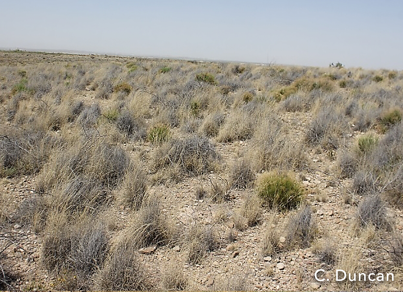 Creosote- and mesquite-dominated upland (top) compared to adjacent area treated with Spike® 20P herbicide at 0.75 pounds per acre (above). Photo above is taken about 10 years after herbicide application.