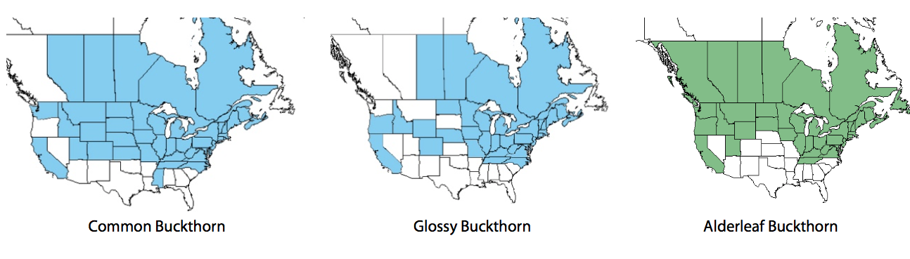 Figure 1: Distribution of  non-native  common buckthorn (left), glossy buckthorn (middle), and  native  alderleaf buckthorn (right) in the United States and Canada (USDA, NRCS and EddMapS)