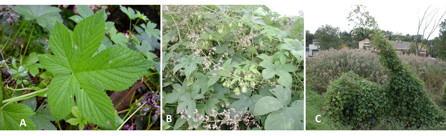 Figure 2: Japanese hop leaf (A); flower (B); and vine covering low shrub and utility line (C). Leaf photo by Chris Evans, Univ Ill., Bugwood; flower and vine by Leslie J. Mehrhoff, Univ Conn., Bugwood.