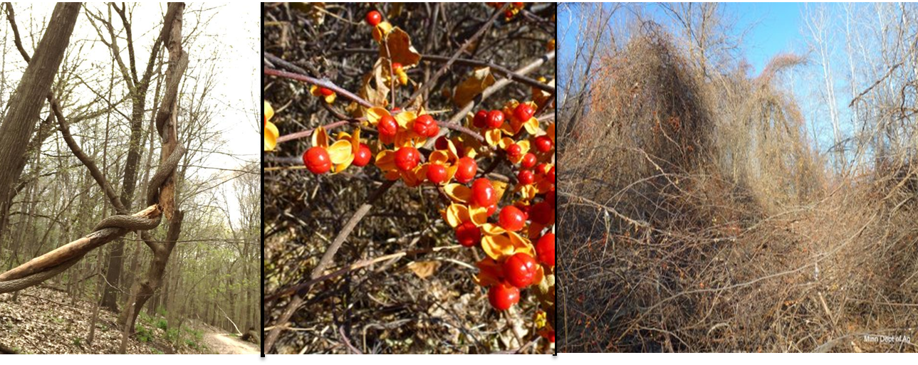 Photographs of oriental bittersweet (courtesy of Anne Morse, Winona County, MN): (L to R) Oriental bittersweet vine climbing hardwood tree; fruit showing 3-valved, yellow capsule; thicket covering desirable woodland.