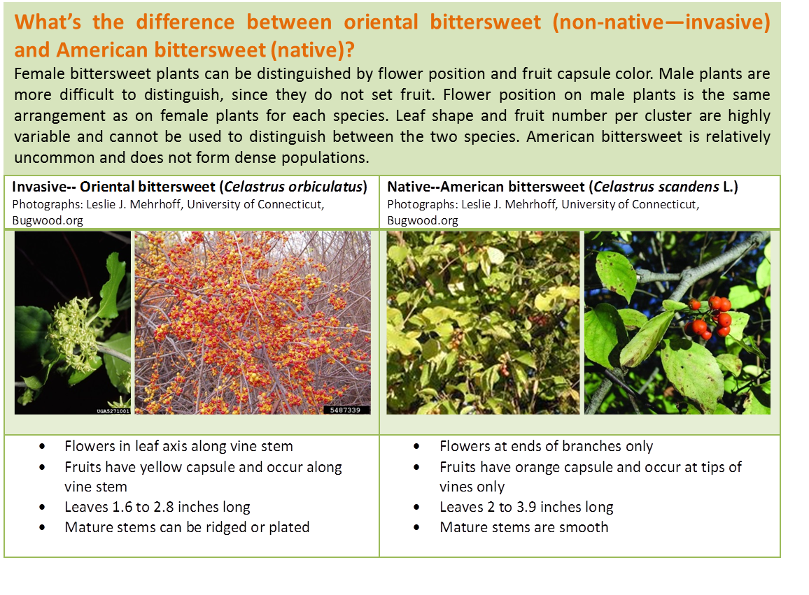 Click here for more detailed information on the differences between American and Oriental bittersweet.