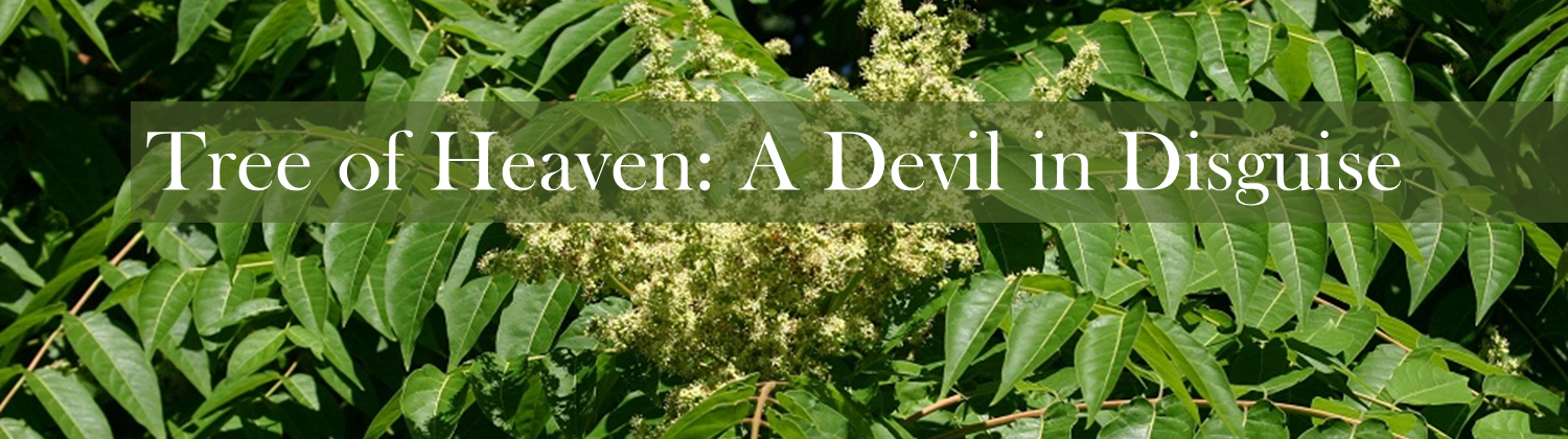 Tree Of Heaven A Devil In Disguise Techline Invasive Plant News