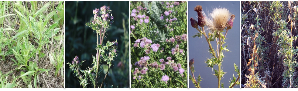 Figure 1: (left to right) Rosette to early bolt (May); bud (June/ July); flower (July/Aug); seed dispersal (mid- to late-August); green basal growth to late fall dormancy (September to early November). Photos by C. Duncan