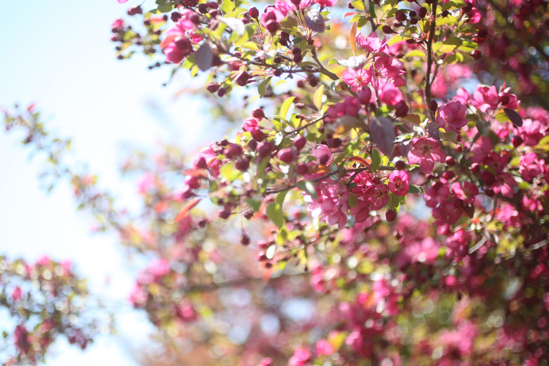 pink_crabapple.jpg
