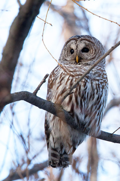 Great Horned Owl and Barred Owl, wildlife photos by morten byskov mfoto.ca