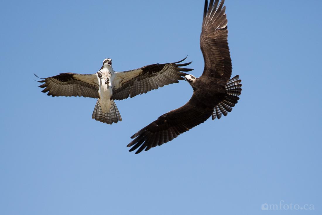 osprey-salmon-arm-2529.jpg