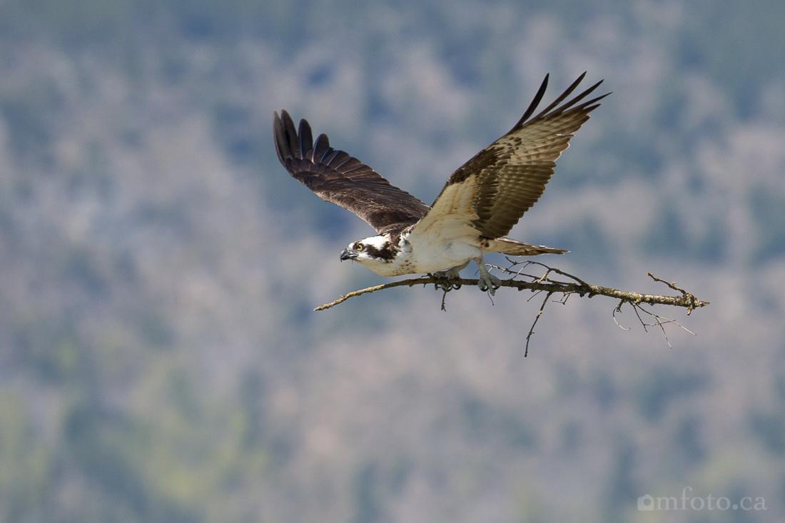 osprey-salmon-arm-2616.jpg