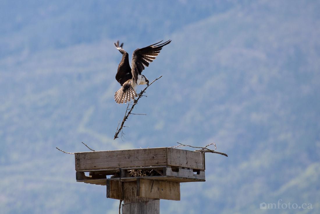 osprey-salmon-arm-2628.jpg