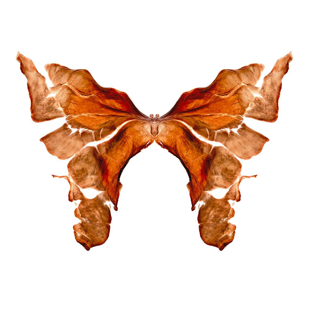 13. Rhopalocera tres.jpg