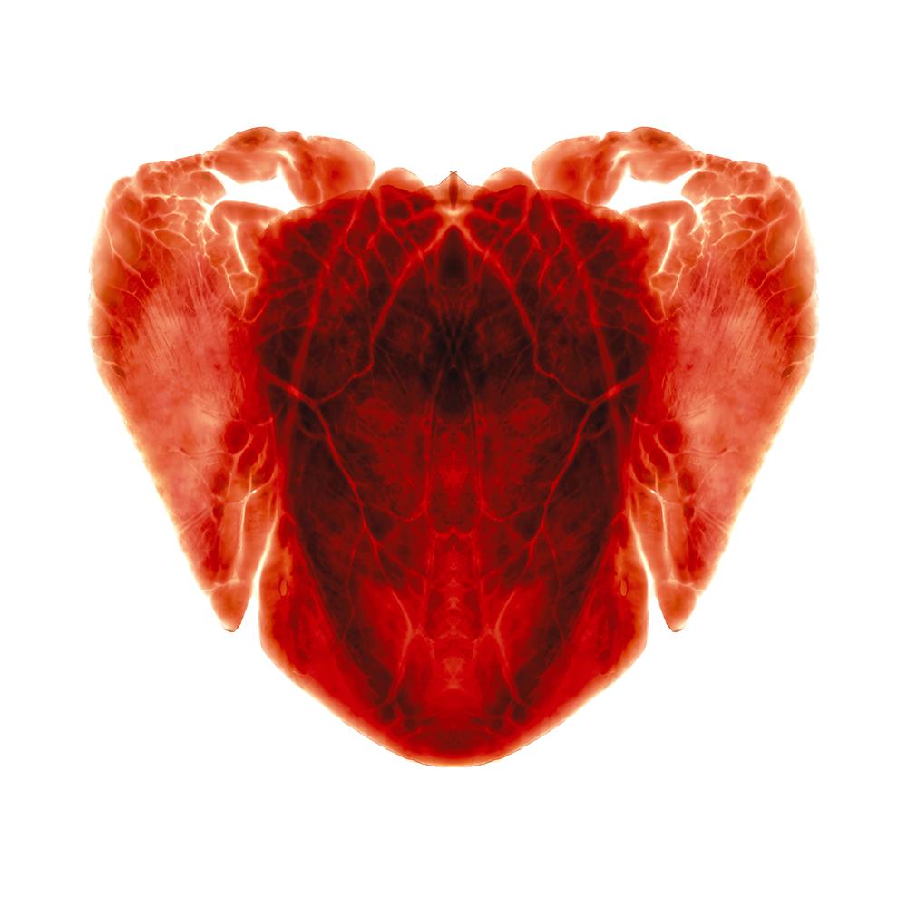 4. Cruor fructus quattuor (blood fruit).jpg