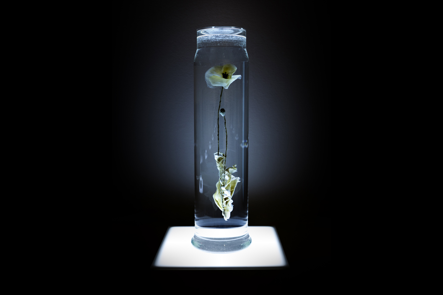 Papaver Rhoeas. Lamb's heart tissue, glass, water. The Lowry. 2017