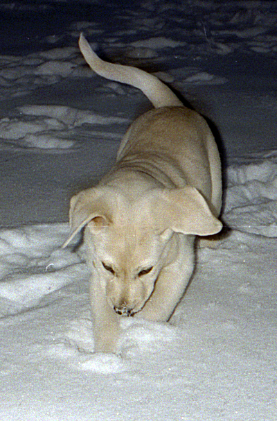 Like most Retrievers, Orville loved the snow.