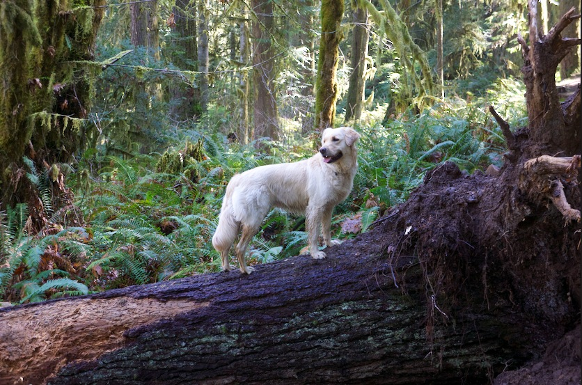 Roo on the magnificent North Umpqua Trail.