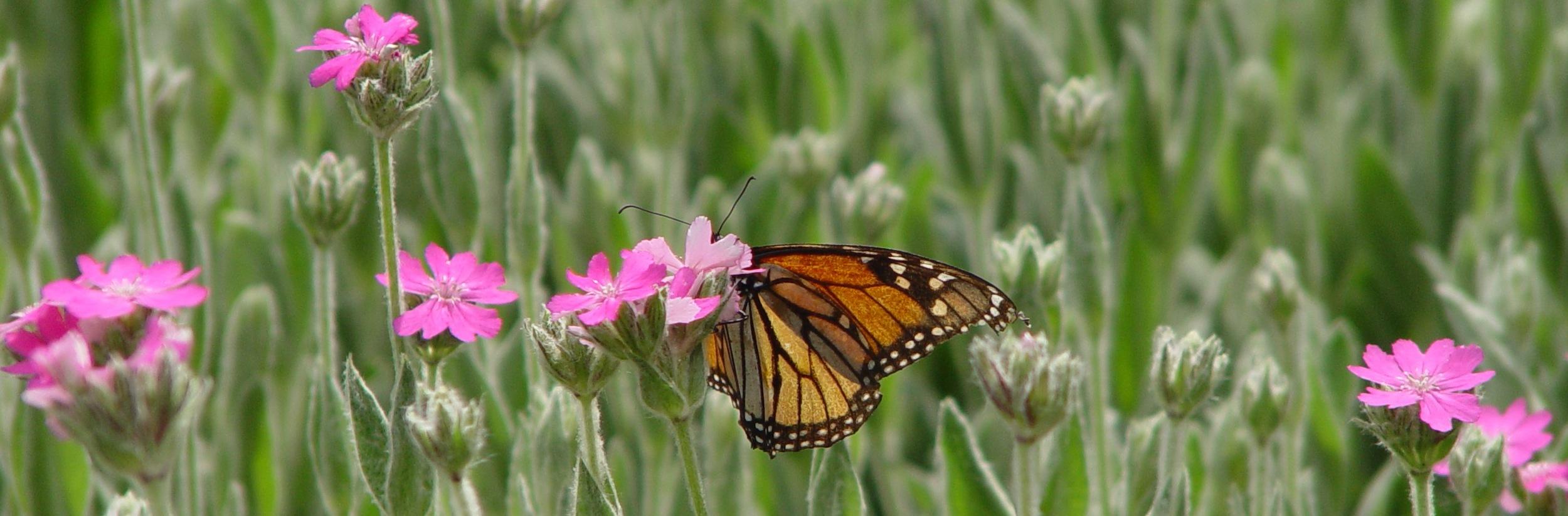 butterfly-in-field.JPG