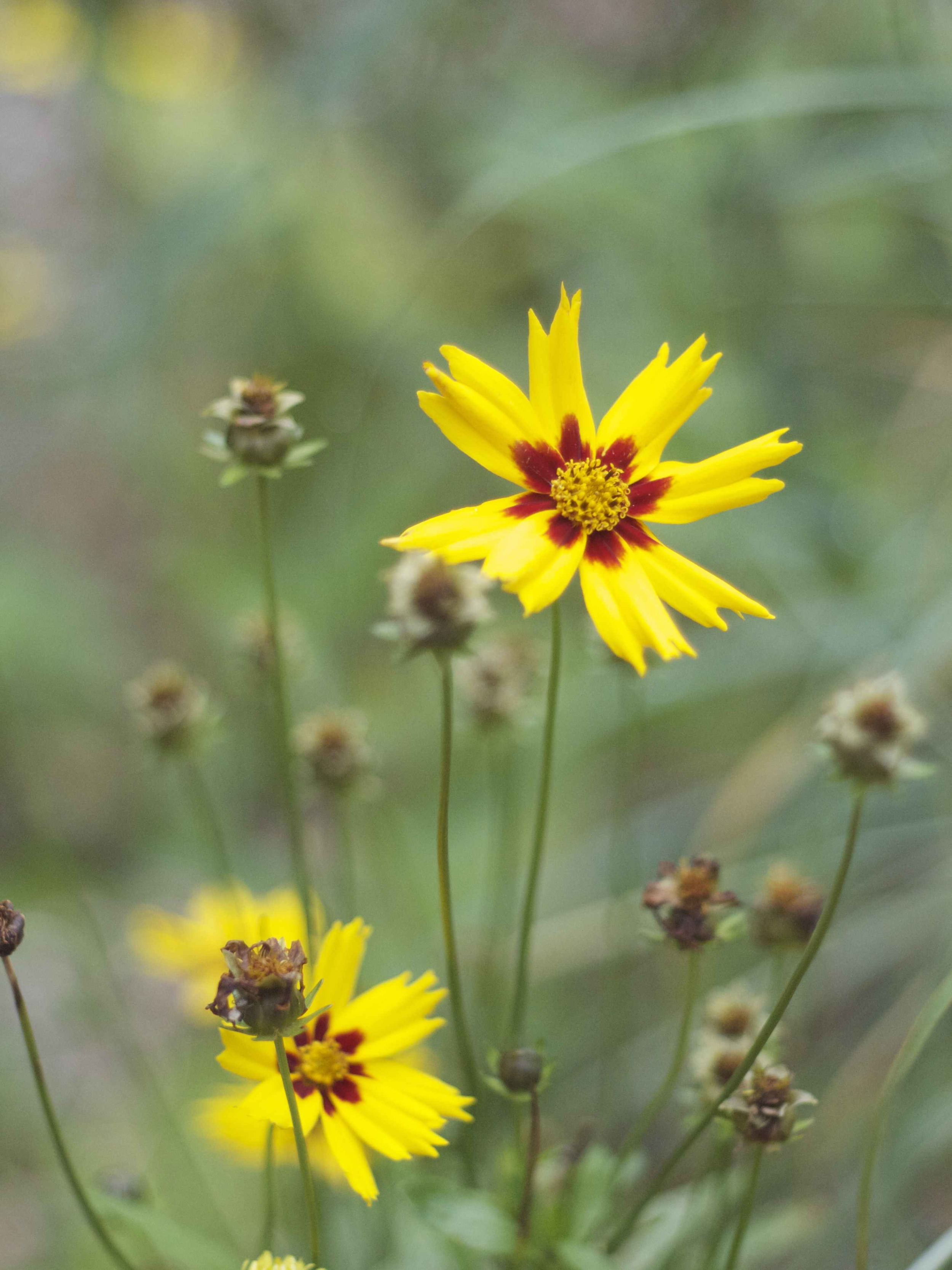 coreopsis in een natuurlijke tuin.jpg