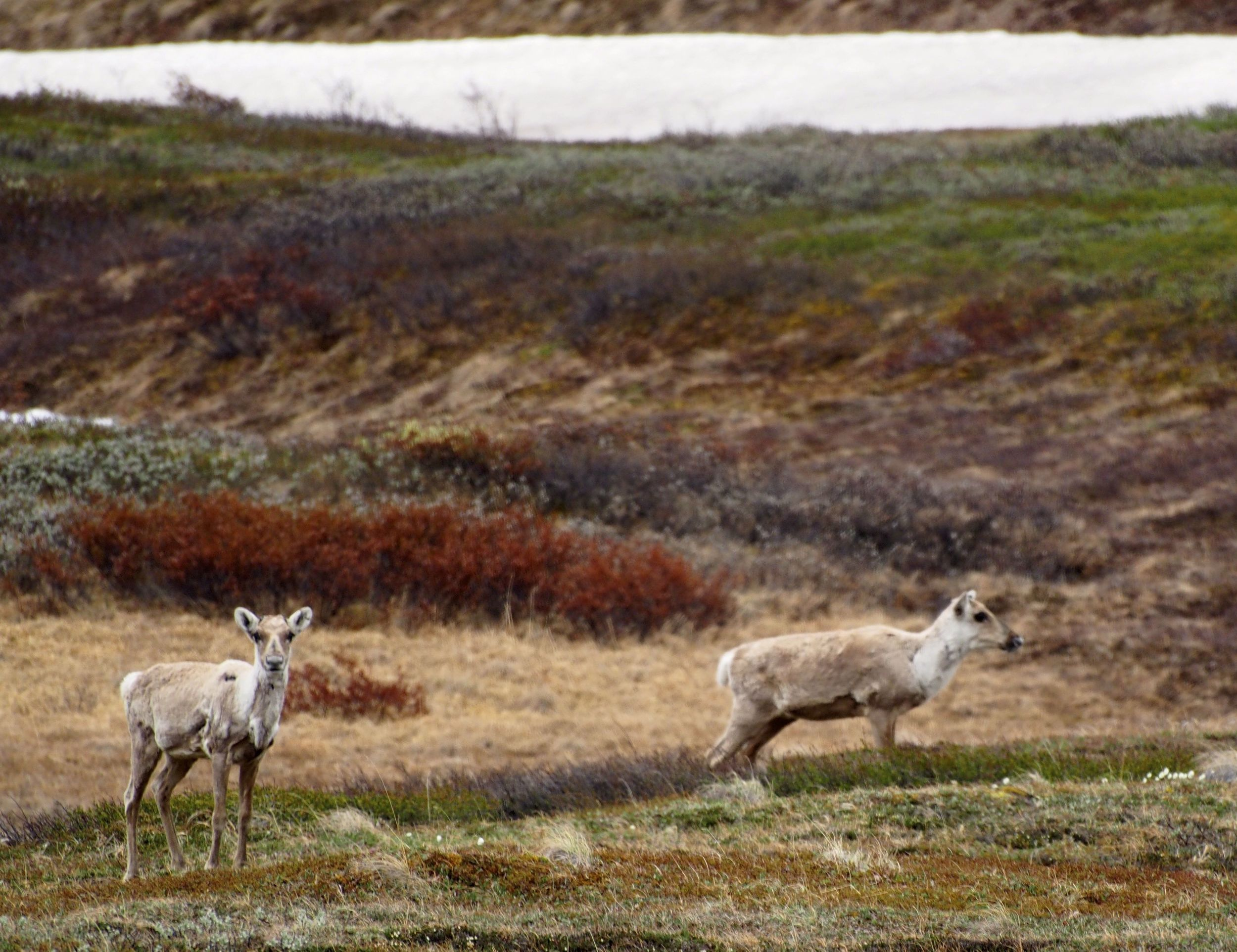 Caribou seen from the tourist bus