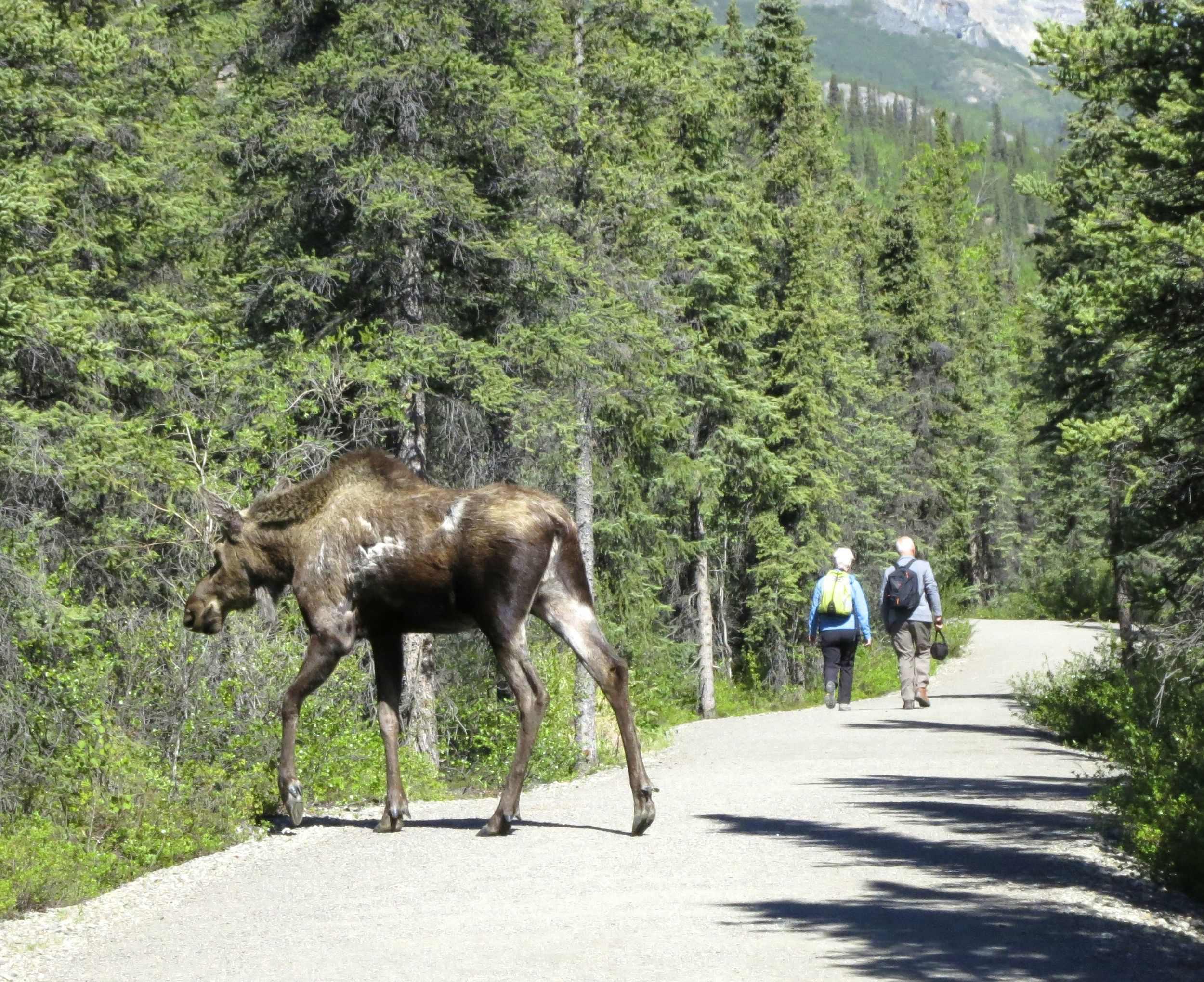 Real moose seen a few minutes later