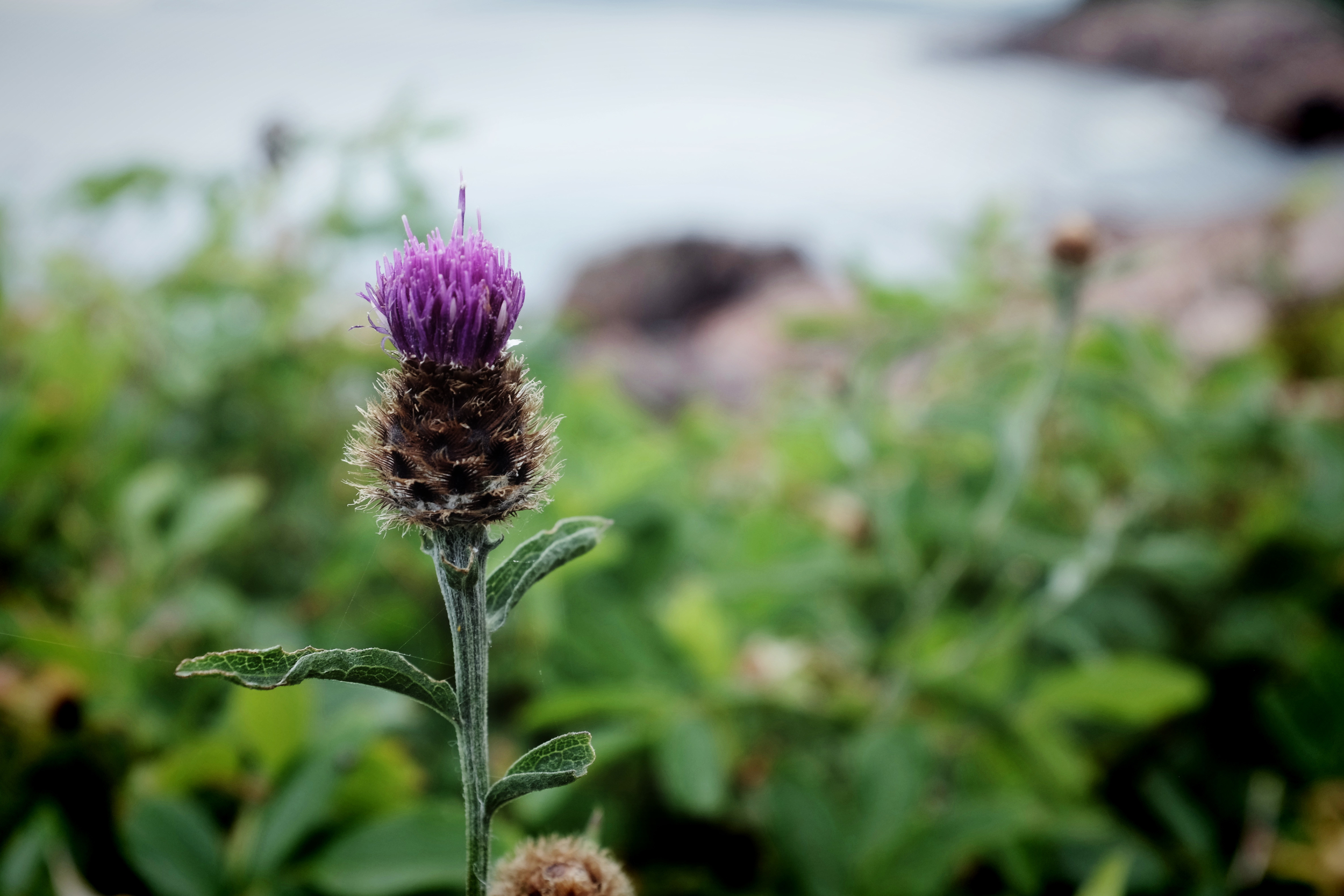 Thistle at a scenic look-off, Cabot Trail, NS