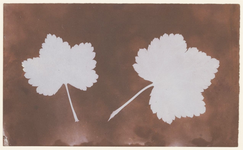 William Henry Fox Talbot, Photogenic drawing of two leaves, 1839.