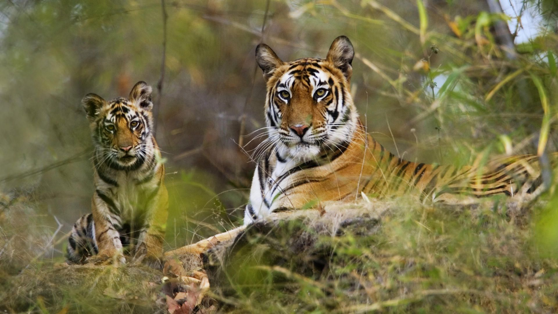 Tigers in the National Park
