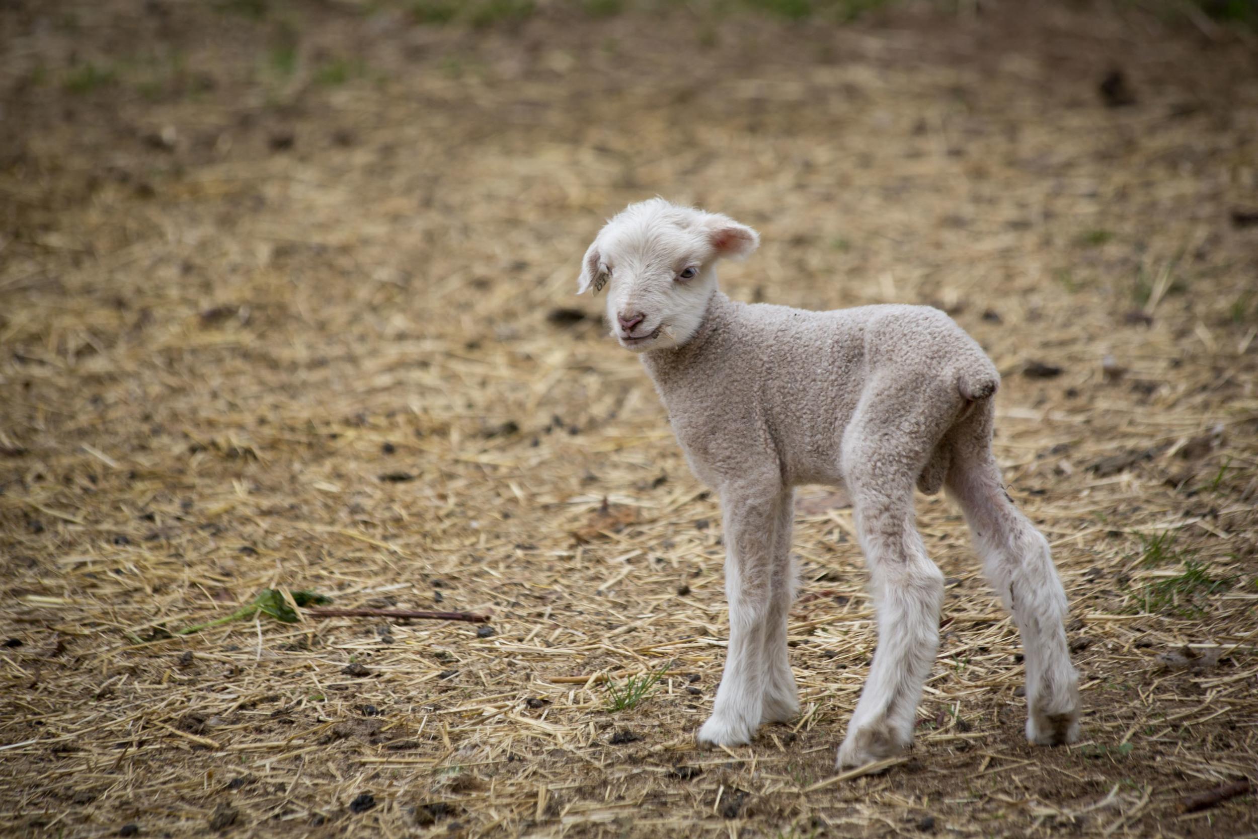 Baby Lamb.jpg