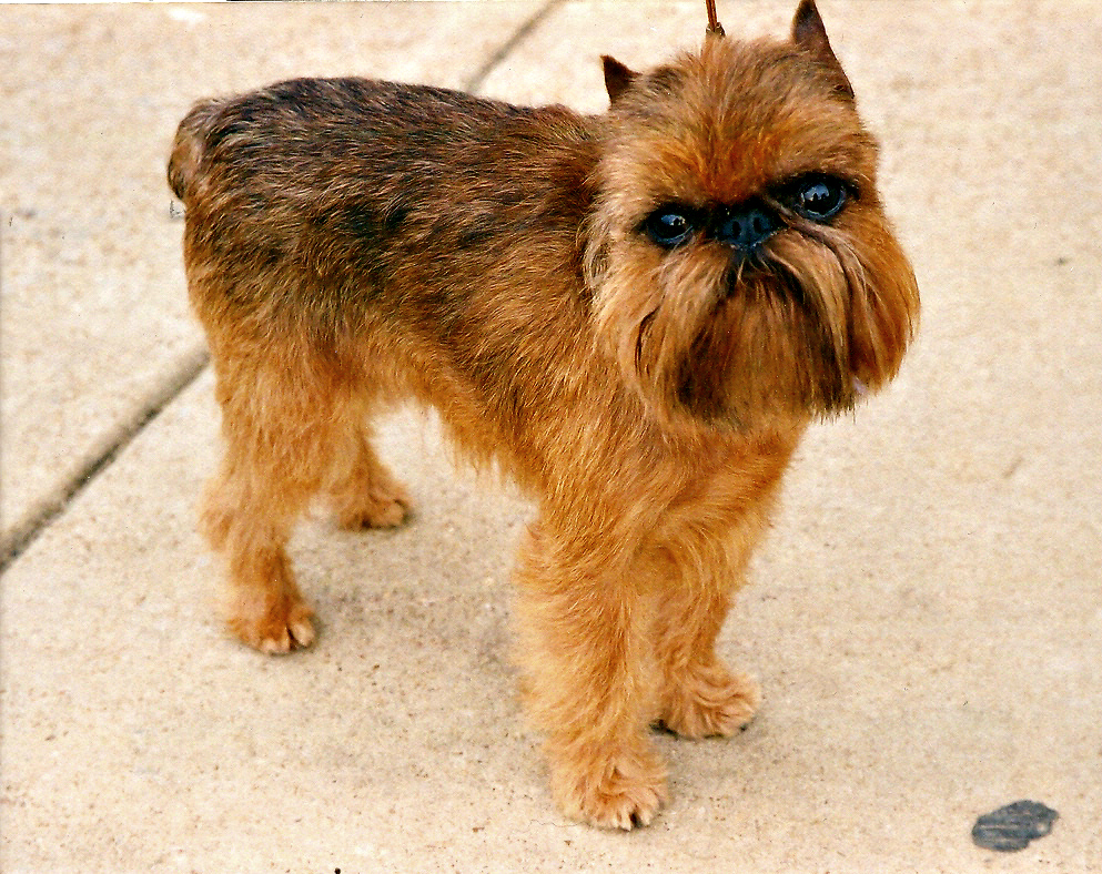 Brussels Griffon Rembrant. Image: Wikimedia