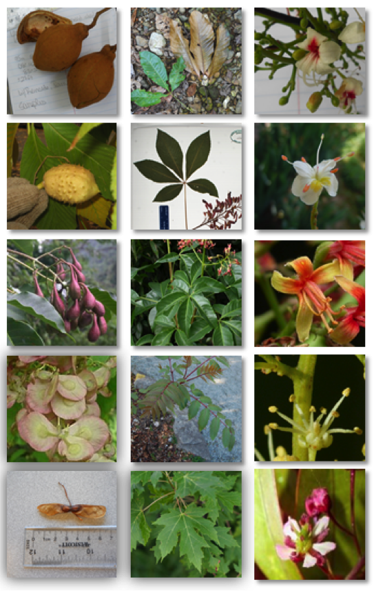 Examples of the five genera that make up the plant subfamily Hippocastanoideae. From top row: cucaracho (Billia), buckeyes and horsechectnuts, Handeliodendron, golden coin tree (Dipteronia), maples (Acer).