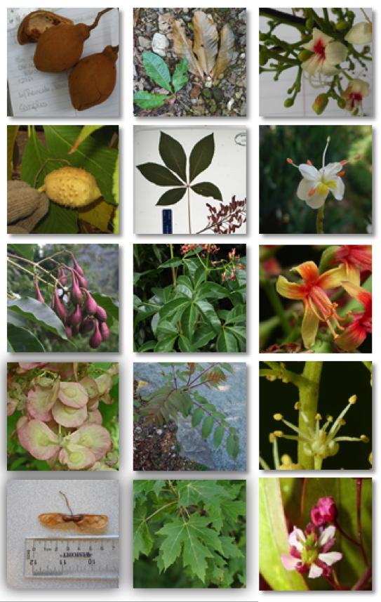 Ejemplos de los cinco géneros que conforman la sub-familia Hippocastanoideae. Fila superior: Cucaracho (Billia), buckeyes y horsechestnuts, Handeliodendron, árbol de moneda de oro (Dipteronia), arces (Acer)