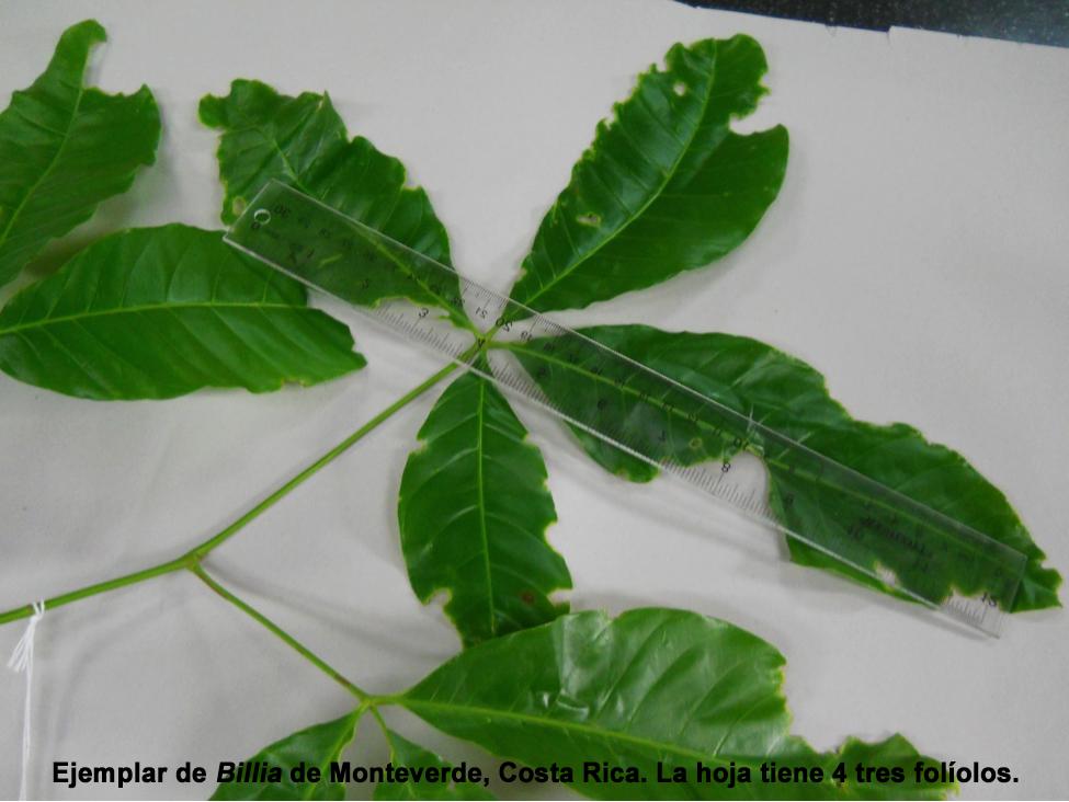 Ccucaracho2SPAN.jpg