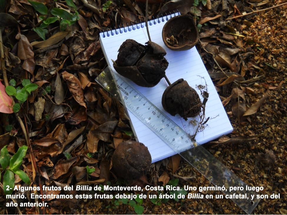 Ccucaracho4span.jpg