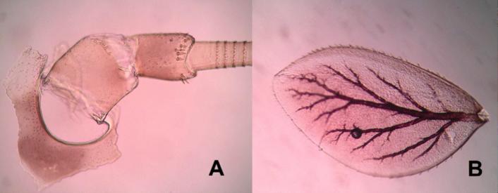 Base de antena (A) y branquia completa (B) en un Baetis, Importantes a nivel taxonómico.