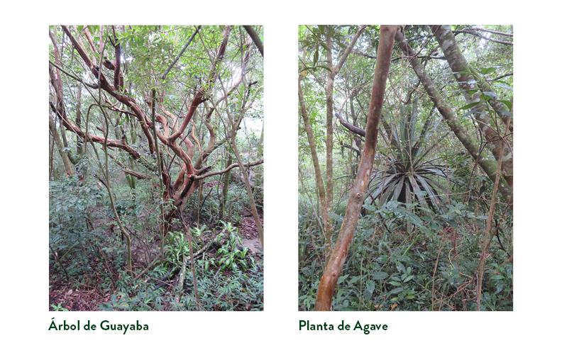El árbol de Guayaba a la izquierda y la planta de Agave a la derecha - ambas rodeadas de bosque en crecimiento.