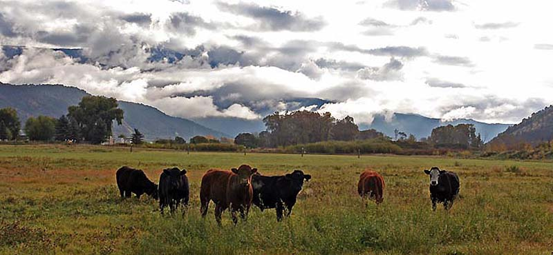 Cattle & Clouds