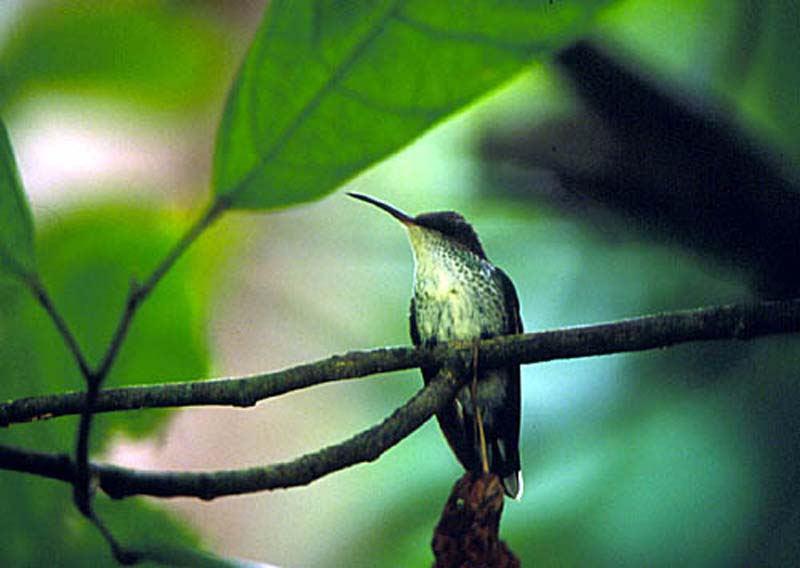 Jamaican Song Bird