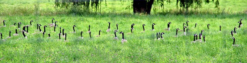 Geese in Grass