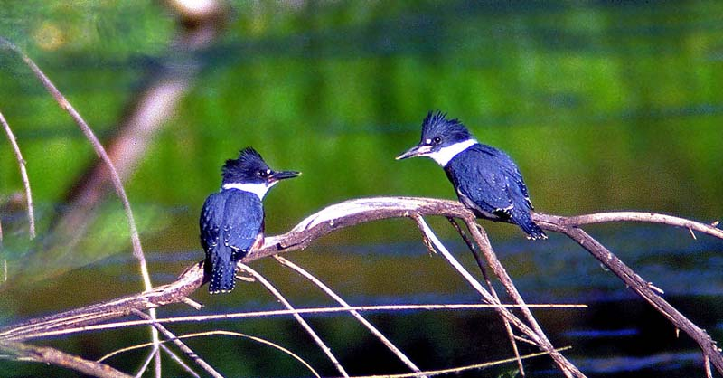 Kingfishers Planning a Meal